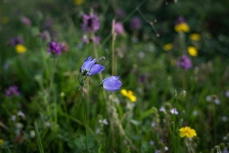 Fleurs de montagne dans les Hautes-Pyrénées