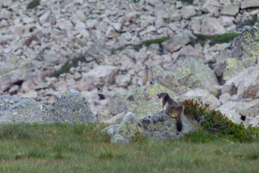 Marmotte à la montagne