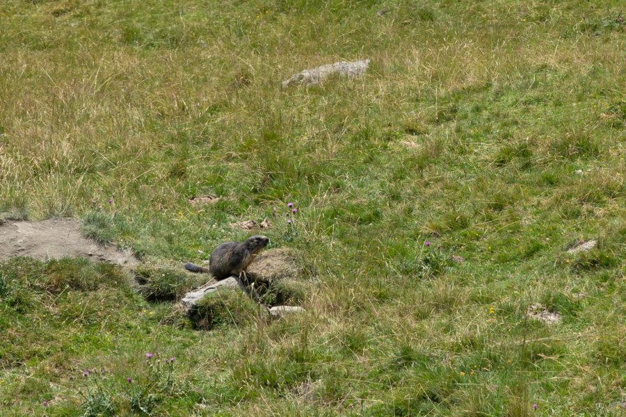 Marmotte dans les Hautes-Pyrénées