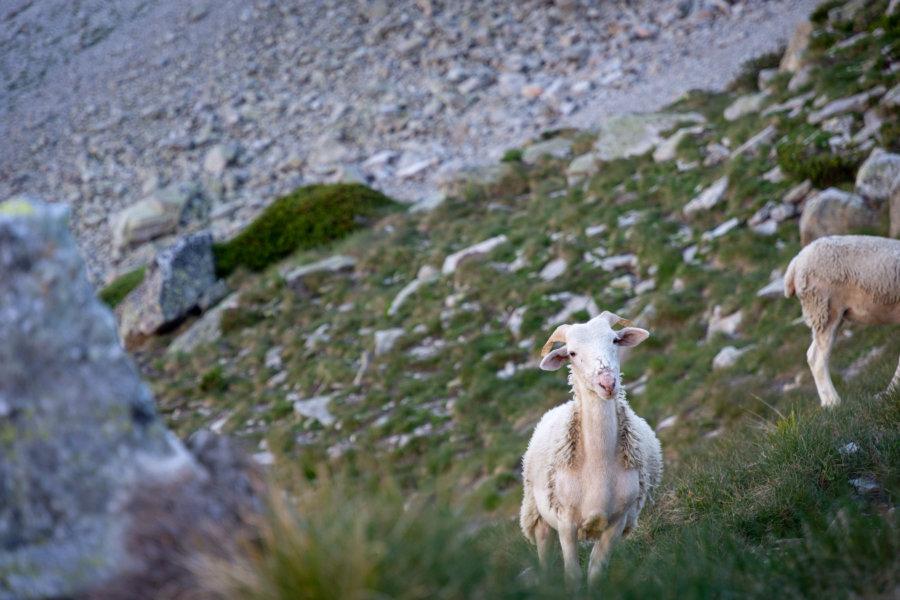 Moutons à la montagne, Pyrénées