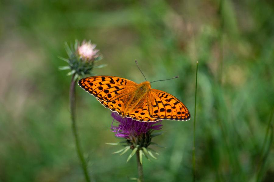 Papillon orange sur un chardon