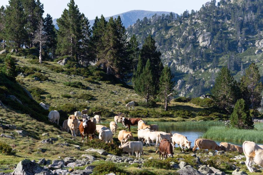 Troupeau de vaches dans les Pyrénées