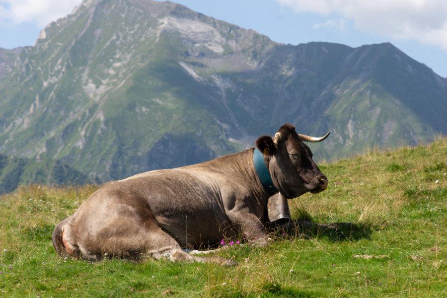 Vache dans la montagne au col d'Azet, Hautes-Pyrénées