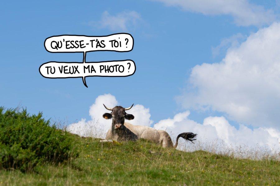 Vache : tu veux ma photo ?