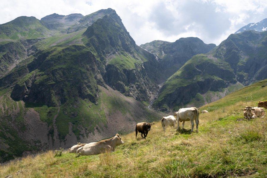 Vaches dans la vallée de Gela, Barroude