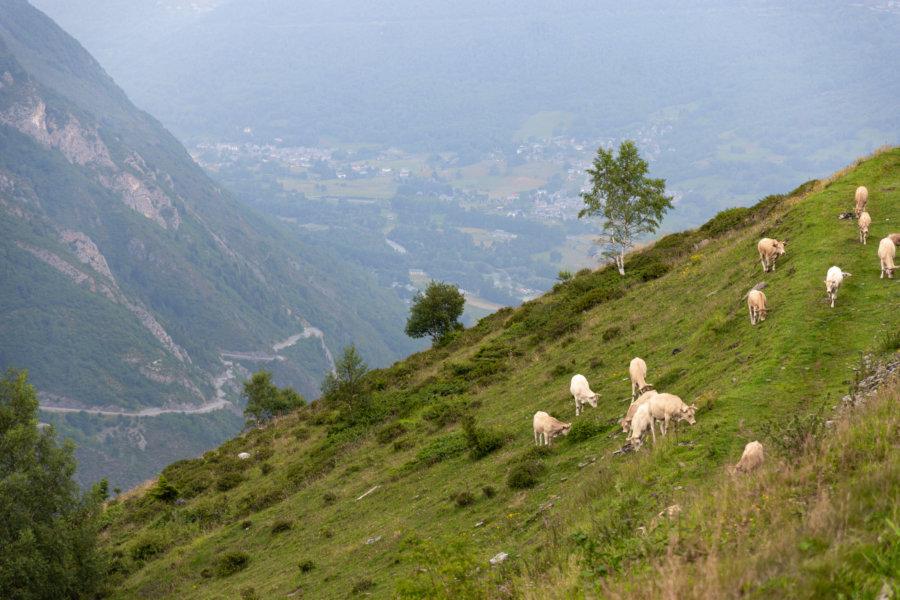 Vaches sur les montagnes de Saint-Lary-Soulan
