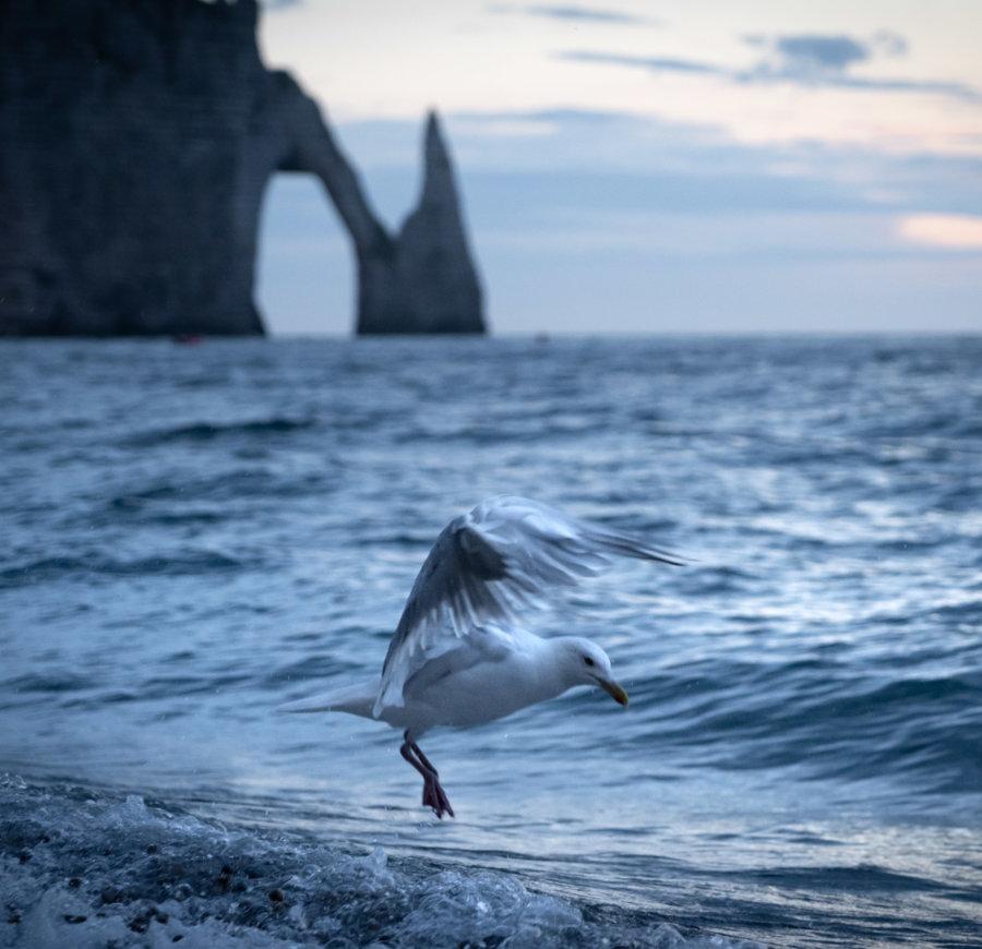 Atterrissage de goéland à Etretat