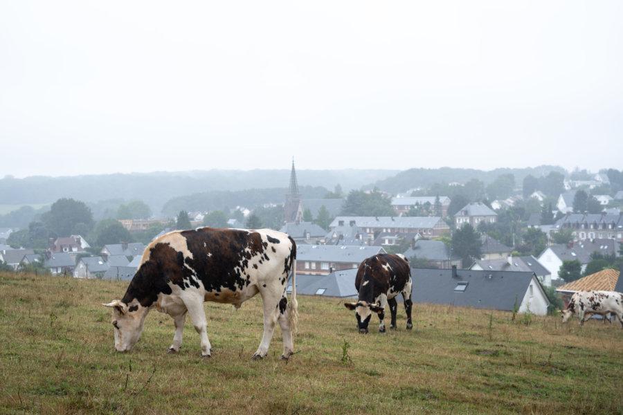 Vaches à Fontaine-la-Mallet en Normandie