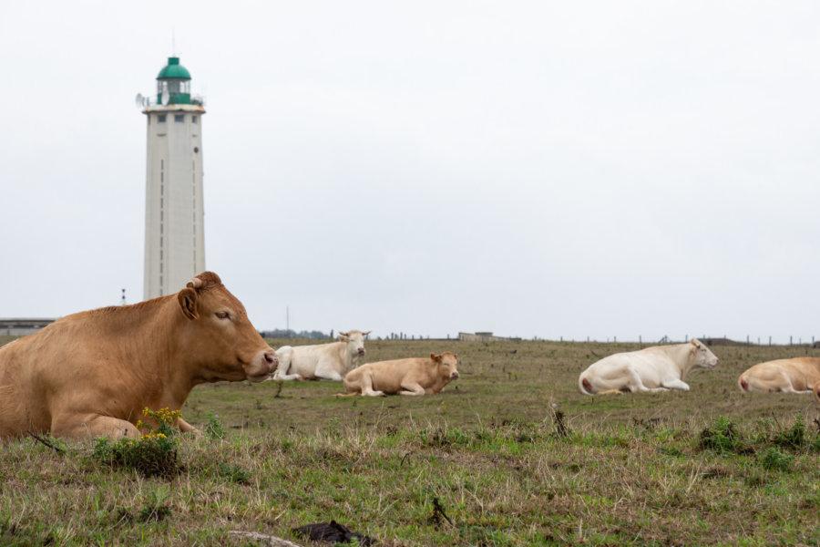 Vaches au phare d'Antifer