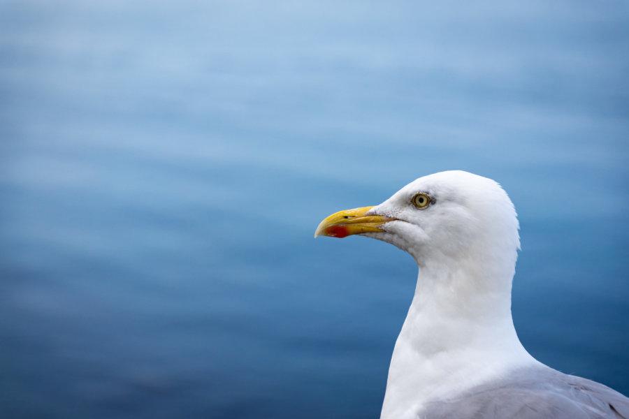 Portrait de goéland de profil