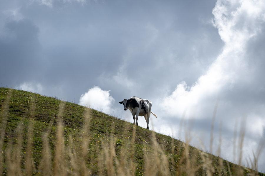Vache sur une colline en Normandie