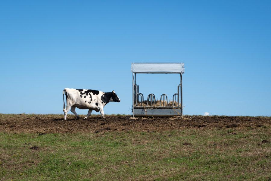Vache normande dans un champ