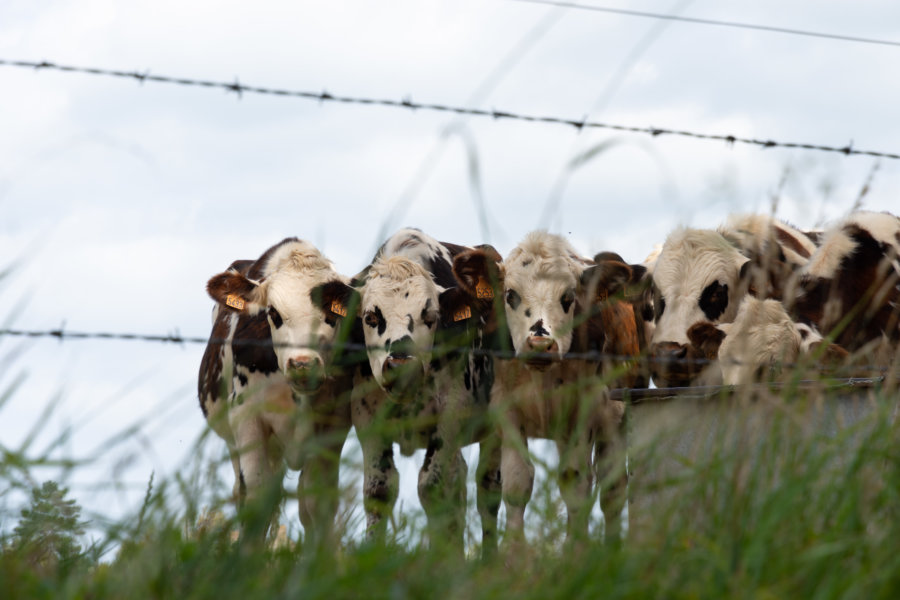 Vaches curieuses en Normandie
