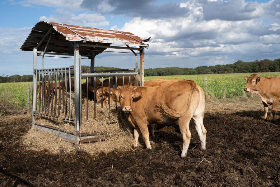 Vaches sur le chemin de randonnée du GR21