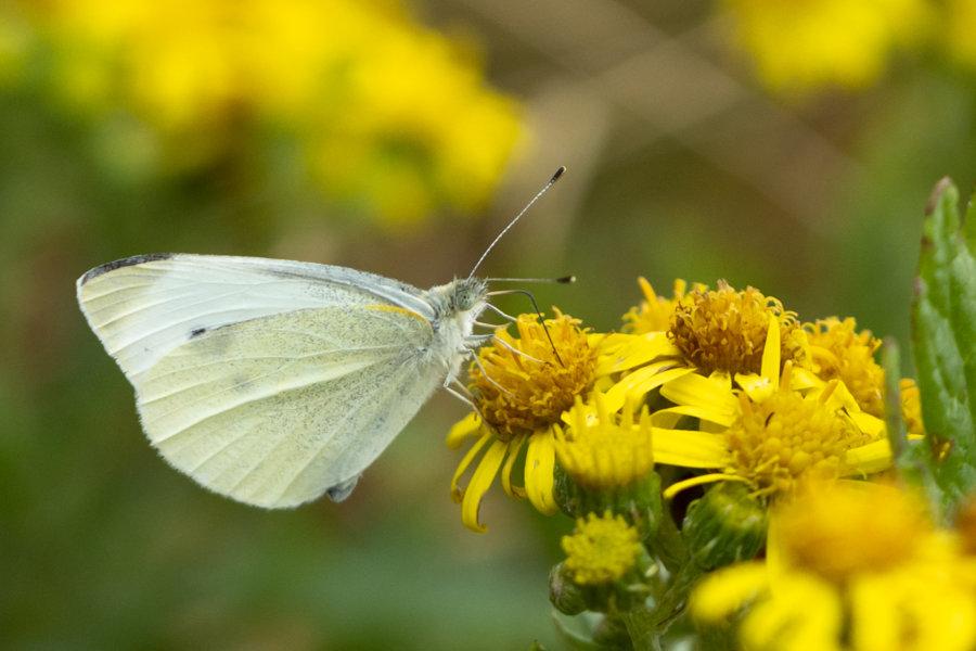 Gros plan sur un papillon et fleur jaune