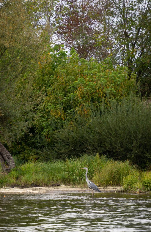 Héron cendré sur la Dordogne