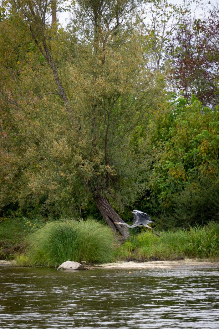 Vol d'un héron cendré en Dordogne