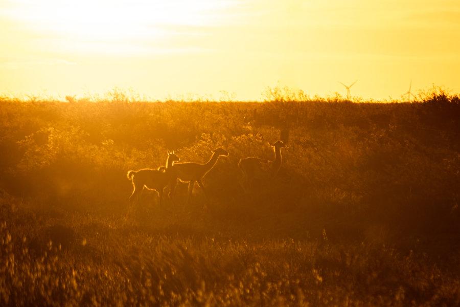Guanacos à Valdès en Patagonie au coucher du soleil