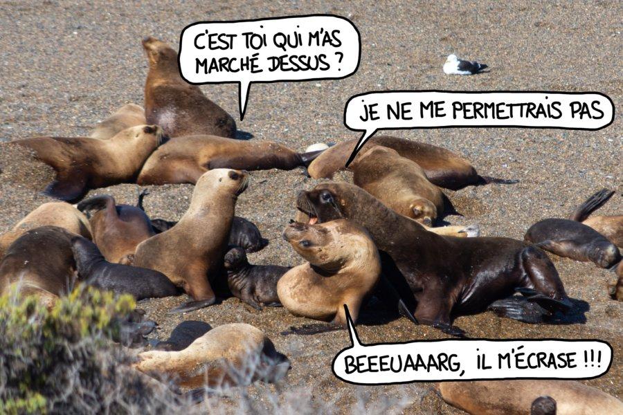 Lions de mer sur la péninsule de Valdès en Patagonie