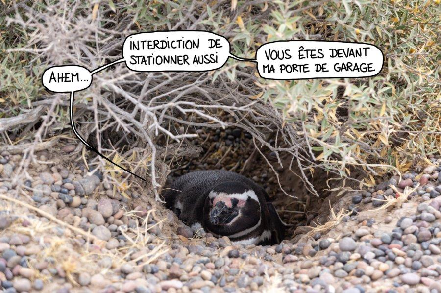 Manchot caché dans son nid à la Punta Tombo