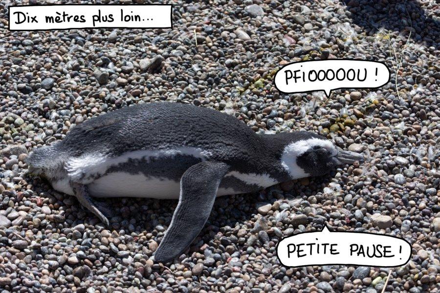 Manchot couché au sol, Punta Tombo, Patagonie