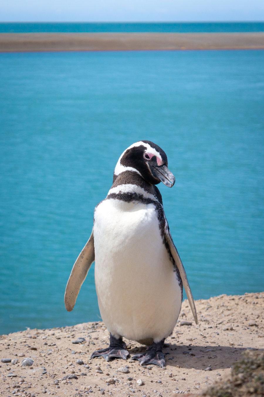 Manchot, pingouin à Valdès en Patagonie argentine