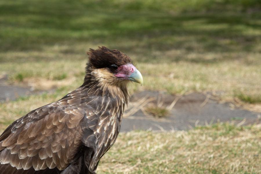 Aigle dans le parc de Torres del Paine