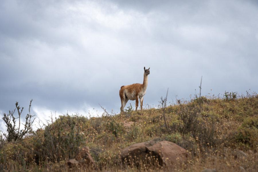 Guanaco dans le parc Torres del Paine au Chili