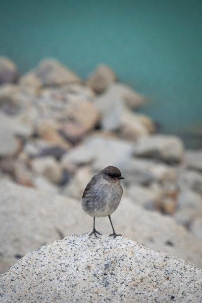 Petit oiseau près du lac à Torres del Paine
