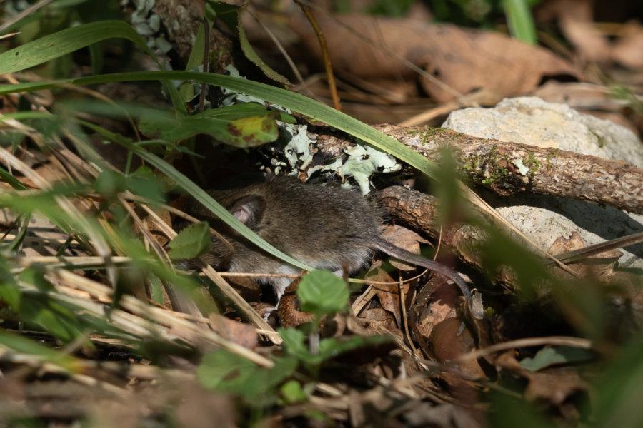 Souris cachée dans la forêt