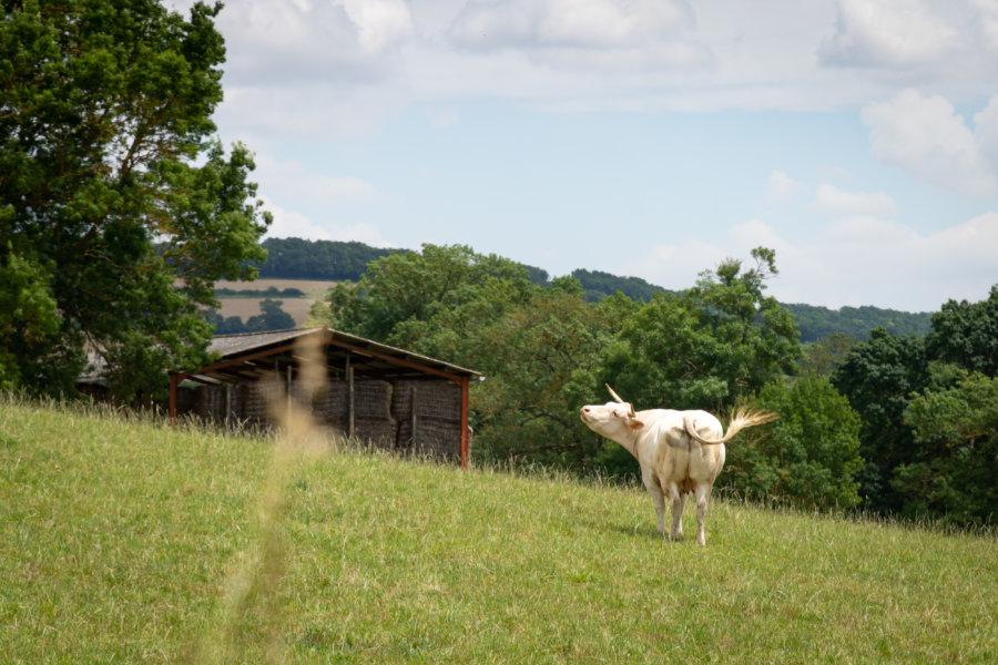 Vache dans la campagne du Gers