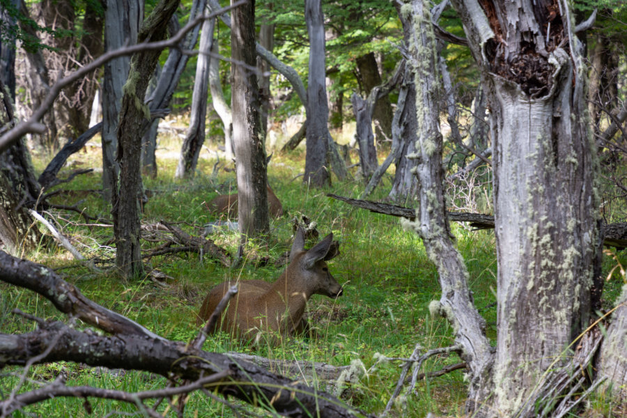 Huemul, animal de Patagonie