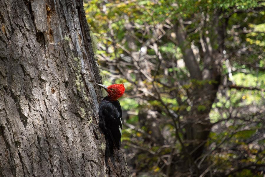 Oiseau Pic de Magellan en Patagonie