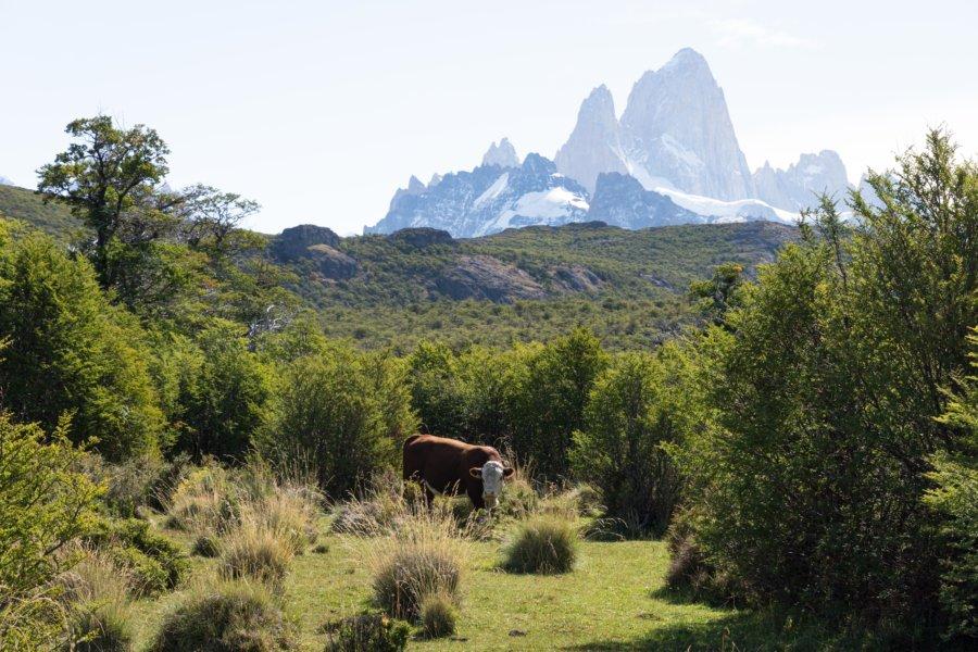 Vaches et Fitz Roy : randonnée près d'El Chaltén