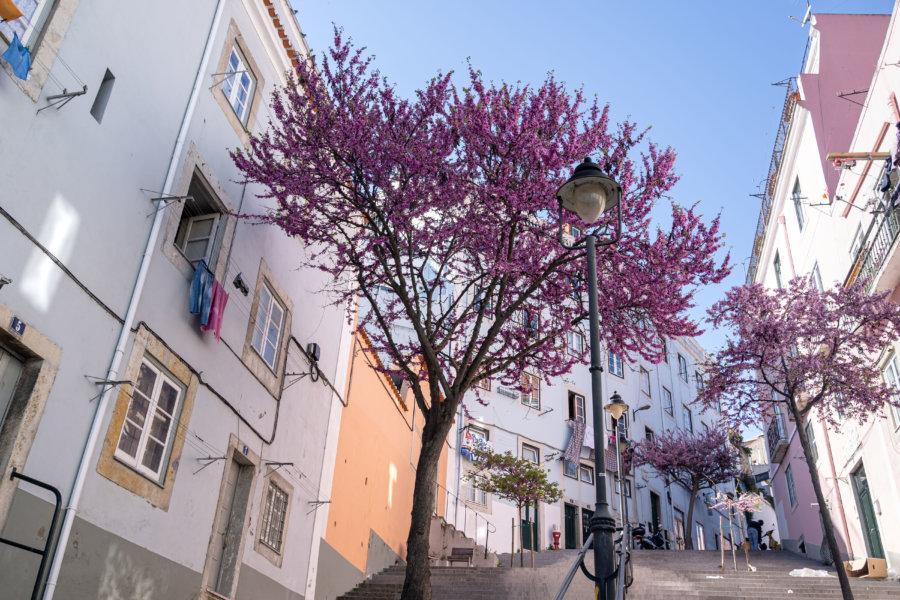 Arbres roses à Lisbonne, Martim Moniz