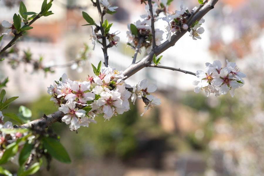 Fleurs blanches d'amandier