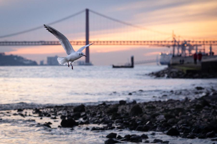 Goélands à Lisbonne au coucher du soleil