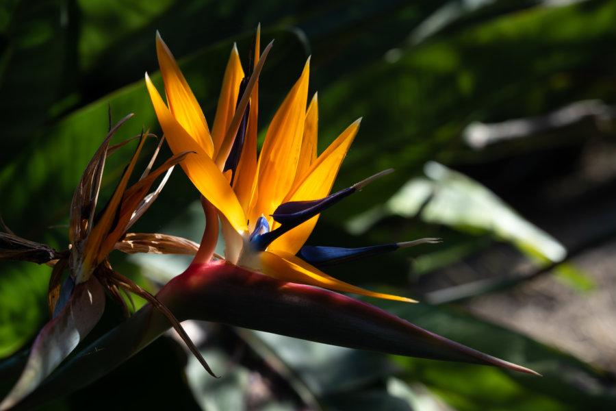 Oiseaux de paradis au jardin botanique de Lisbonne