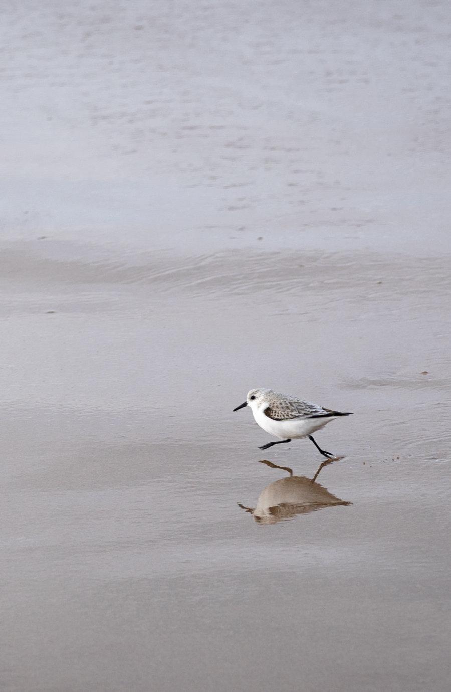 Bécasseau sur la praia do guincho