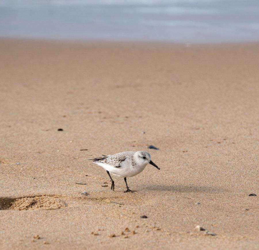 Bécasseau sur la plage au Portugal