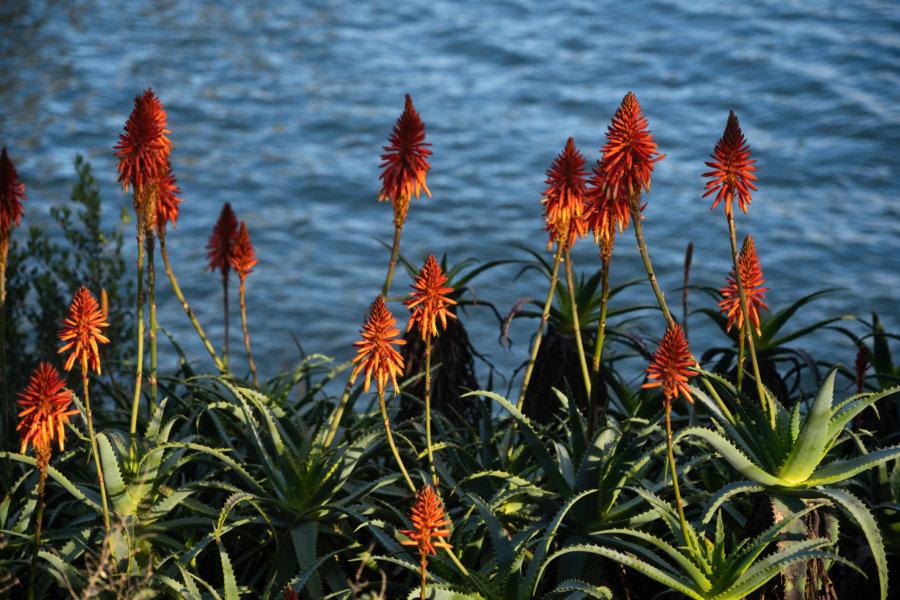 Plante kniphofia à Cascais
