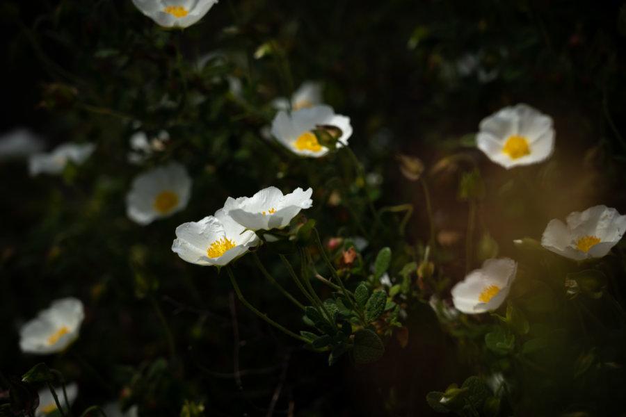 Fleurs sur la colline de Caparica au Portugal